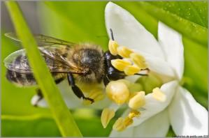 abeille-madarinier.jpg