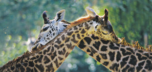 girafes.IMG_NEW.jpg